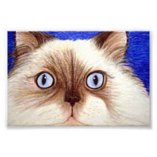 Impression Photo Impertinent le chat de l'Himalaya copie de 5 x 7