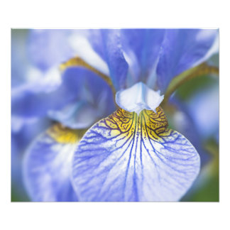 Impression Photo Iris sibérien