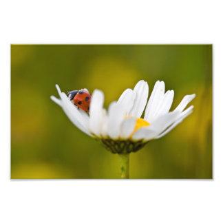 Impression Photo Ladybird dans la marguerite des prés - copie de