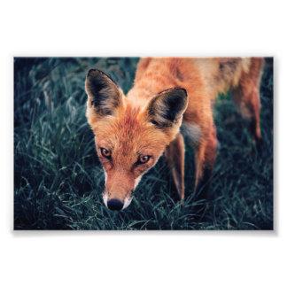 Impression Photo Le Fox rouge