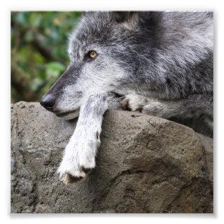 Impression Photo Loup noir de détente