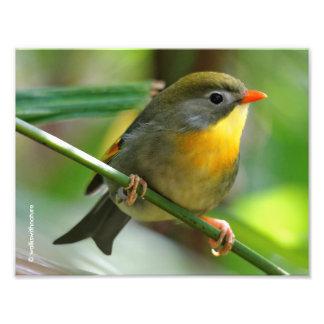 Impression Photo Oiseau chanteur coloré de Leiothrix/Pekin Robin