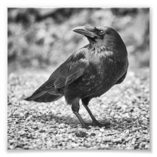 Impression Photo Oiseau noir, corneille, sur les roches