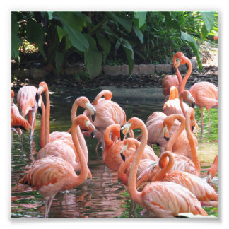 Impression Photo Oiseaux roses tropicaux de flamant