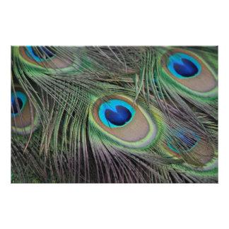 Impression Photo Paon d'oiseau de paon