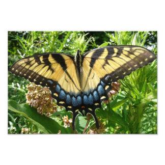 Impression Photo Papillon de machaon II chez Shenandoah