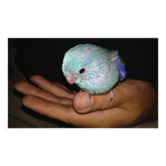 Impression Photo Portrait bleu Pacifique de Parrotlet d'oiseau de