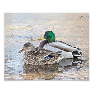 Impression Photo Portrait d'un mâle et d'un canard femelle