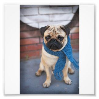 Impression Photo Portrait mignon de chien de carlin avec l'écharpe