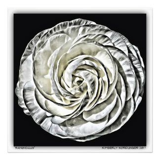 Impression Photo Ranunculus par Kimberly Nordlinger