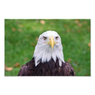 Impression Photo Yeux d'Eagle chauve