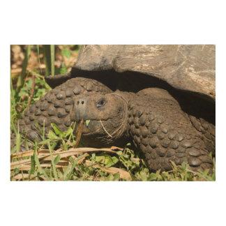 Impression Sur Bois Consommation | Galapagos de tortue géante