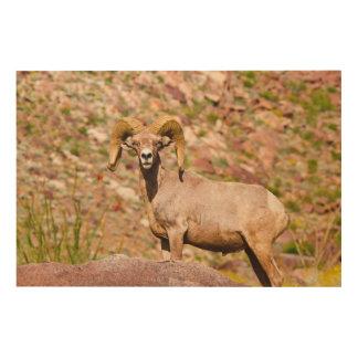 Impression Sur Bois Mouflons d'Amérique péninsulaires