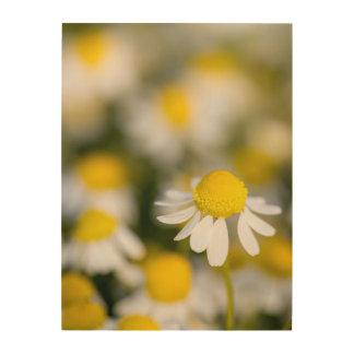 Impression Sur Bois Plan rapproché de fleur de camomille, Hongrie