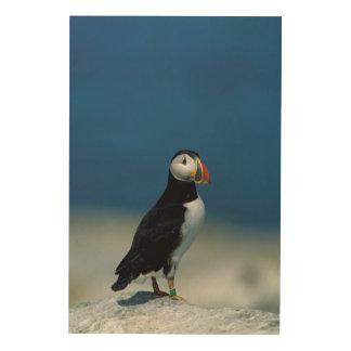 Impression Sur Bois Portrait d'un macareux atlantique