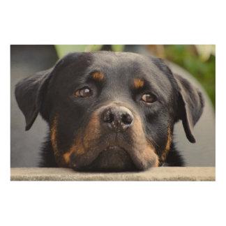 Impression Sur Bois Rottweiler regardant au-dessus de la barrière