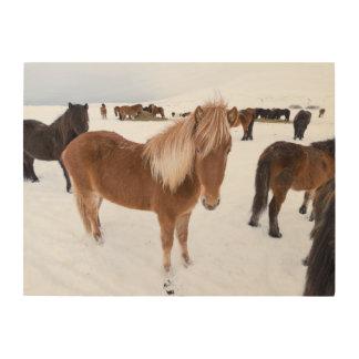 Impression Sur Bois Troupeau de chevaux islandais en hiver
