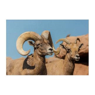 Impressions En Acrylique Bighorn de désert masculin et femelle