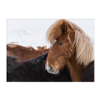 Impressions En Acrylique Cheval islandais parmi le troupeau