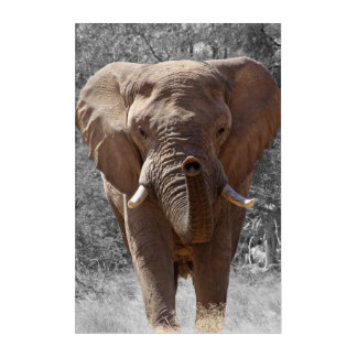 Impressions En Acrylique Éléphant africain de buisson