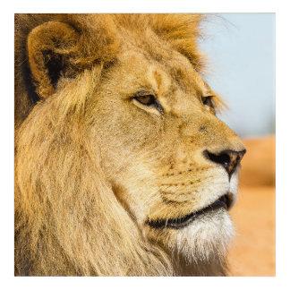 Impressions En Acrylique Grand lion regardant loin