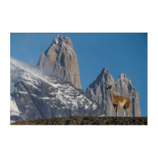 Impressions En Acrylique Guanaco en Torres del Paine   Chili