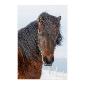 Impressions En Acrylique Headshot islandais majestueux de cheval