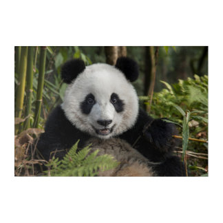 Impressions En Acrylique Jeune panda heureux, Chine