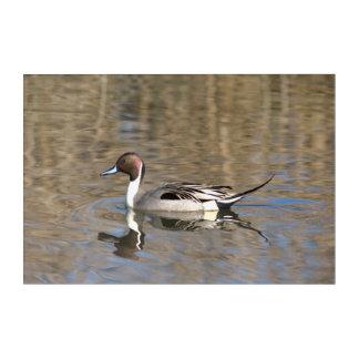 Impressions En Acrylique Le canard de canard pilet nage dans un étang