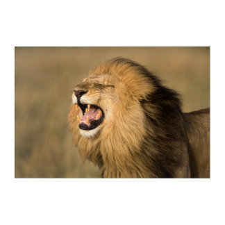 Impressions En Acrylique Lion masculin hurlant