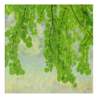 Impressions En Acrylique Membres d'arbre de Katsura dans le printemps |