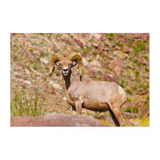 Impressions En Acrylique Mouflons d'Amérique péninsulaires