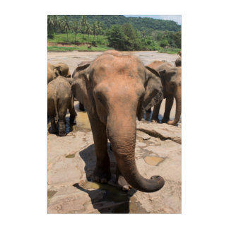 Impressions En Acrylique Portrait de groupe d'éléphant, Sri Lanka