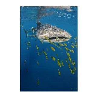 Impressions En Acrylique Requin de baleine avec des poissons, Indonésie