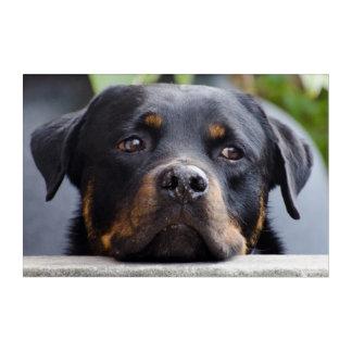 Impressions En Acrylique Rottweiler regardant au-dessus de la barrière