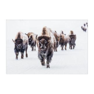 Impressions En Acrylique Troupeau du bison, Buffalo dans la neige au parc