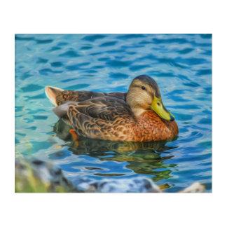 Impressions En Acrylique Un canard masculin de Mallard dans l'eau