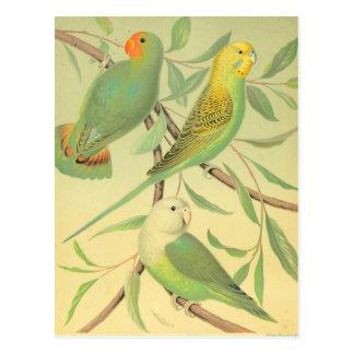 inséparables et perruches carte postale