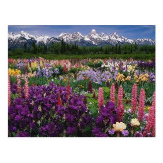 Iris et jardin de loup et chaîne de Teton, Carte Postale