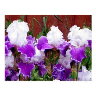 Iris pourpres et blancs carte postale