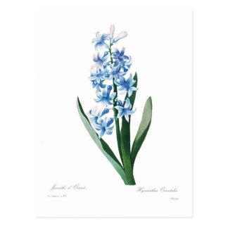 Jacinthe bleue carte postale