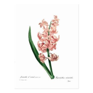 Jacinthe rose carte postale