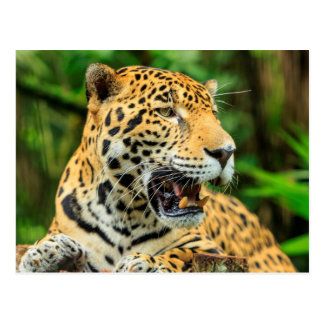Jaguar montre ses dents, Belize Carte Postale