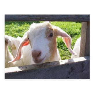 Jeter un coup d'oeil la carte postale de chèvre