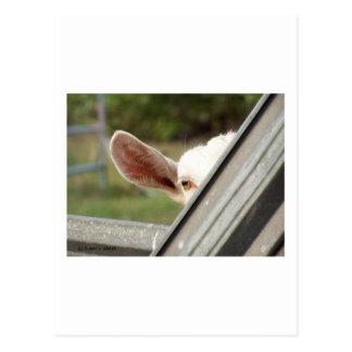 Jetez un coup d'oeil une chèvre de blanc de huer ! cartes postales