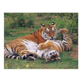 Jeu de tigres de Bengale Carte Postale