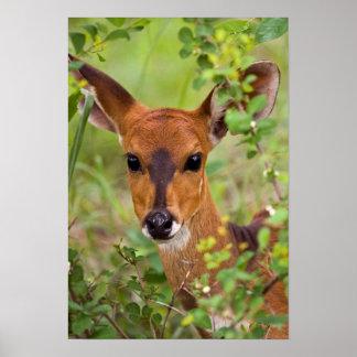 Jeune brebis de Bushbuck, parc national de Kruger Poster