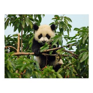 Jeune carte postale de panda géant
