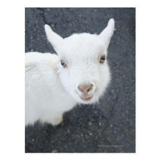 Jeune chèvre cartes postales