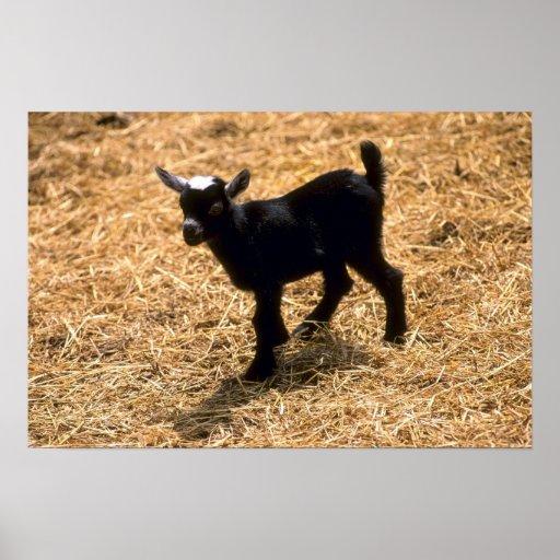 Jeune chèvre de Pigmy Posters